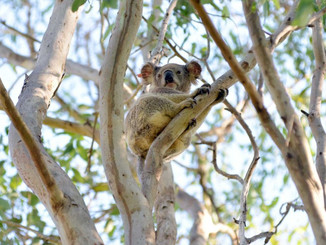 Thriving Koala Colony In Somerset Give Scientists Hope For Species Survival