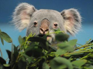 Edinburgh Zoo Koalas Grin And Bear It