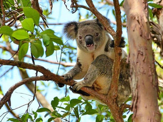 A Koala Being Tracked Has Been Killed