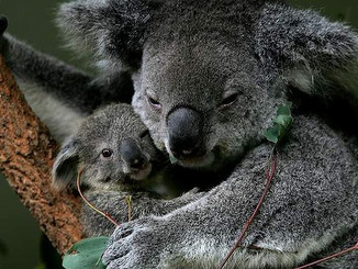 Koala's Conservation Status Downgraded