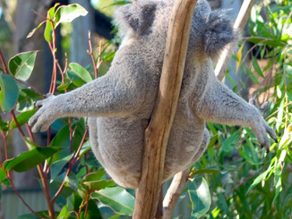Greens Detail Proposed Law To Save Koalas