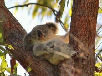 Research Into Chlamydia May Help Fraser Coast Koalas