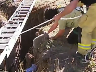 Double Rescue: Dog and Koala