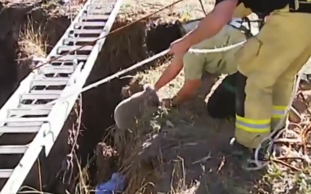 Koala pulled free from mine shaft