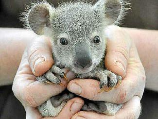 Koalas bear up well at Dreamworld