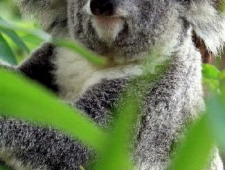 Tweed and Bryon Councils Want $2.2M Federal Funding For Koala Trees