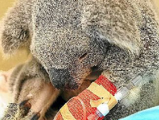 763 Koalas Admitted to Australia Zoo Wildlife Hospital