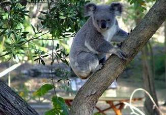 Calls For Action On Koala Status