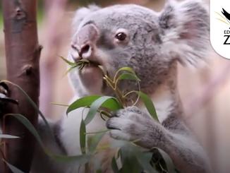 Edinburgh Zoo Welcome First Koala Joey