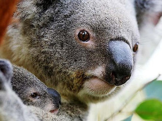 Expert Quits Over Road Threat To Wardell Koalas