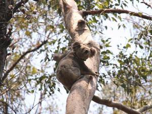 Moreton Bay Rail Koala Tagging And Monitoring