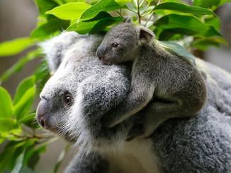 Baby Girl Koala Joey Arrives At Druisburg Zoo