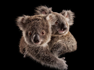 Koalas Are So Cute And Threatened