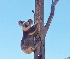Koala Makes Rare Appearance At Wacol Bush Reserve