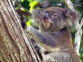 New Highway Threatens Protected Koala Populations In Ballina