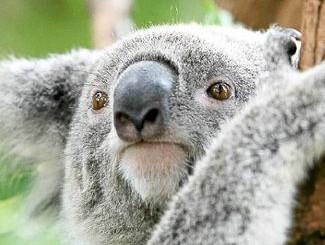 Merlin The Koala Killed By A Car