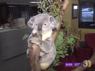 Mareeba Program Nourishes The Spirit And Koalas