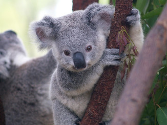 Koalas Need Our Help For Protection