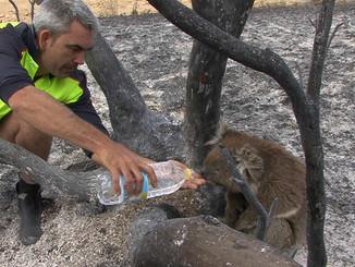 Koala Rescue In South Australian Bushfire Aftermath