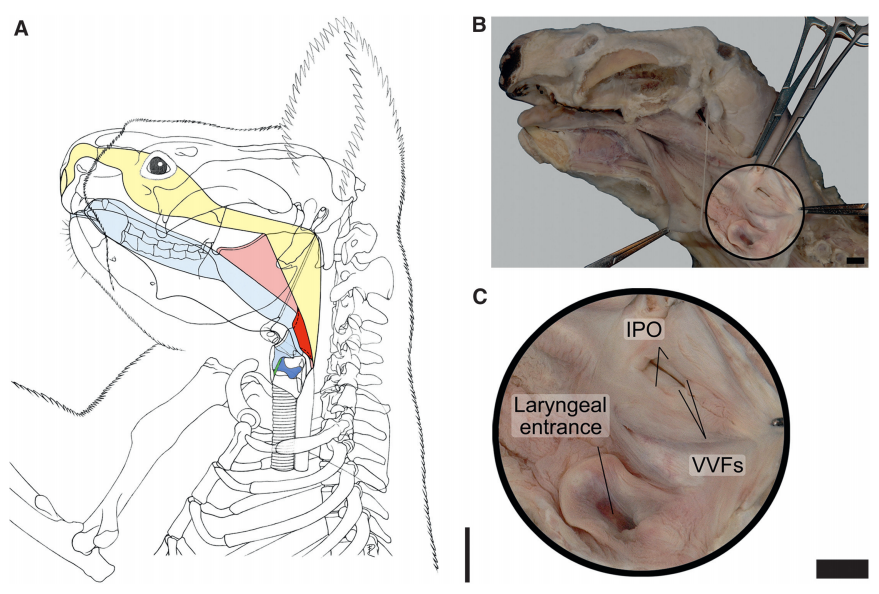 Koala Vocal Chord Anatomy