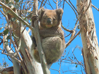 Aboriginal Elder Calls For Koala Cull Over Relocation In Framlington Forest, Victoria