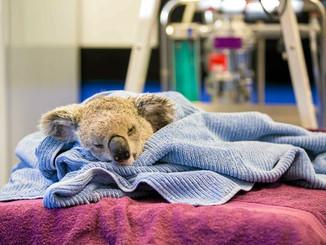Koala Euthanised After Dog Attack