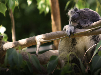 Koalas, People and Climate Change: Not a Good Mix