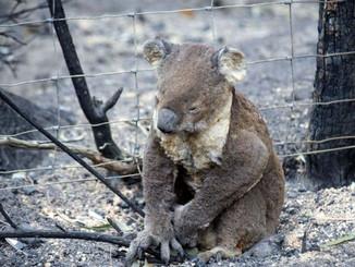 Logging For Fuel Will Kill Koalas