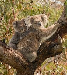 Australian Environmentalists Demand Higher Fines To Protect Koala Habitat