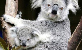 Ballina Council To Consider Koala Plan