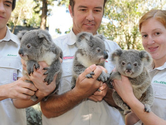 UPDATE: Dreamworld's 11 Koala Joeys Line Up To Join The Colony