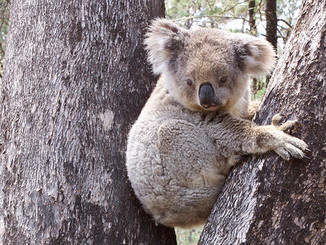 Ask Minister Burke To Protect Leard Forest's Koalas, Reject Maules Creek Mine