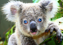 Voices For The Earth Warn That New Laws Threaten Koalas