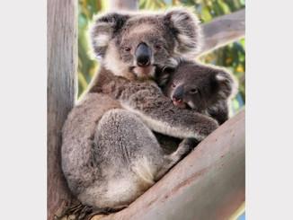 Kangaroo Island Koala's Sterilisation
