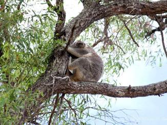 Koala Management Plans Barking Up Wrong Tree, Researchers Say
