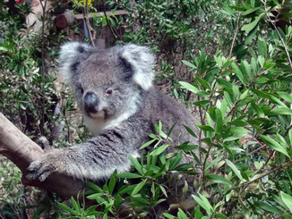 Koala Euthanised Due To Kidney Failure - Hong Kong