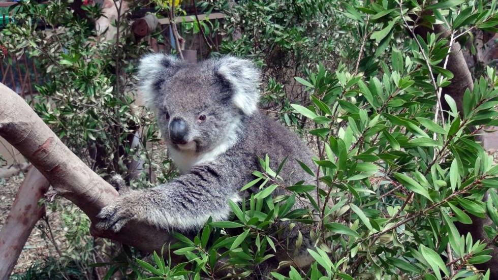 photo: scmp pictures. koala sitting in tree.