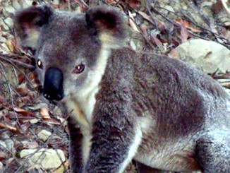Major Re-think Required On Koala Protection