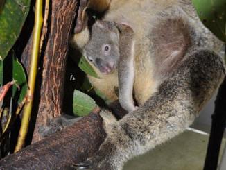 Dreamworld's New Additions To The Koala Colony Emerge