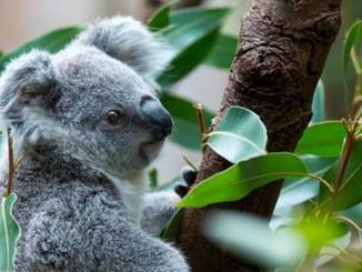 Koalas Arrive At Pairi Daiza
