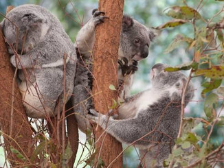 Rare Sighting: Koala Seen In Upper Blue Mountains