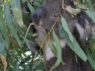Koalas On The Outer Live Life Differently