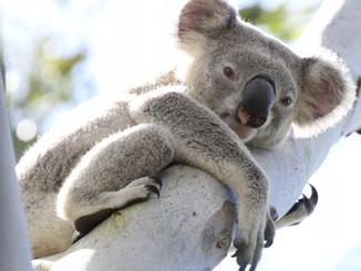 Koala Sightings On Project Noah