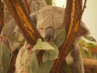 Koala Senate Inquiry Calls For Vulnerable Status