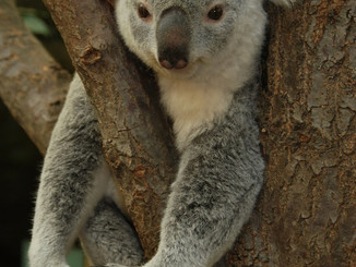 A History Of Inbreeding Leaves Koalas With Low Genetic Diversity