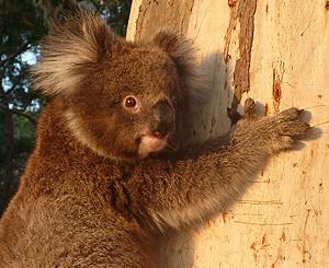 Saving The Koala: A Genetic Approach