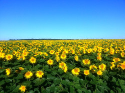sunflower field with close up in front - resized.jpg
