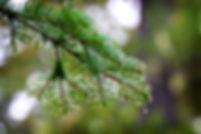 pine-tree-branch_f1l-qPYO.jpg