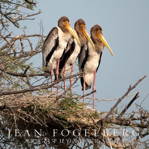 Painted Storks at Bharatpur Bird Sanctuary