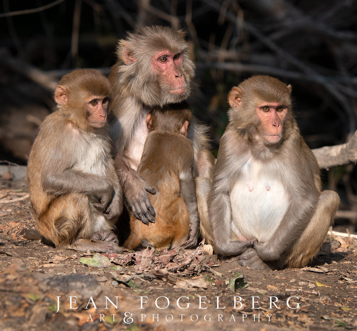 Pink Faced Monkeys at Bharatpur Bird Sanctuary